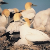 Gannets with their chicks