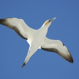 Gannet in flight over Farewell Spit