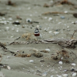 Fossicking Dotterel