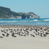 South Island Pied Oyster Catchers on Farewell Spit